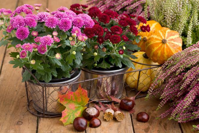 Jesienne Kwiaty Na Balkon Najlepsze Rośliny Do Pojemników