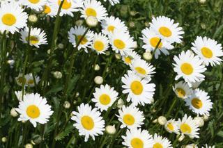 Złocień wielki = Jastrun wielki - Chrysanthemum maximum, syn. Leucanthemum  maximum - Urzadzamy.pl