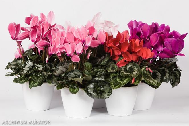 Kwiaty Doniczkowe Kwitnące Zimą Poradnik Gdzie I Jak Kupować