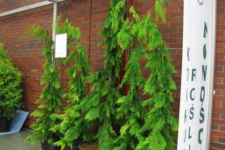 Cyprysik Lawsona 'Filip's Golden Tears'  - Chamaecyparis lawsoniana 'Filip's Golden Tears'