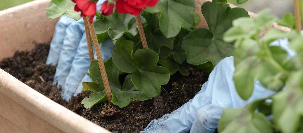 Sadzenie Kwiatów Na Balkonie Do Doniczek I Skrzynek Jak