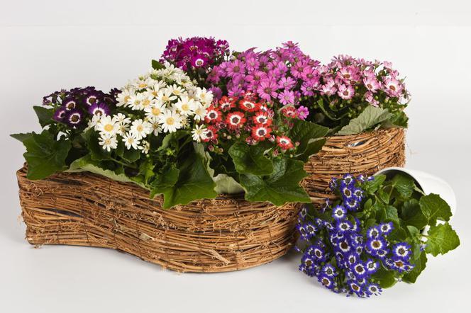 Cyneraria Wiosenny Kwiat Doniczkowy Muratorpl