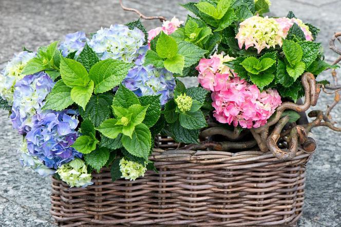 Hortensja Roślina Doniczkowa Na Wielkanoc I Nie Tylko