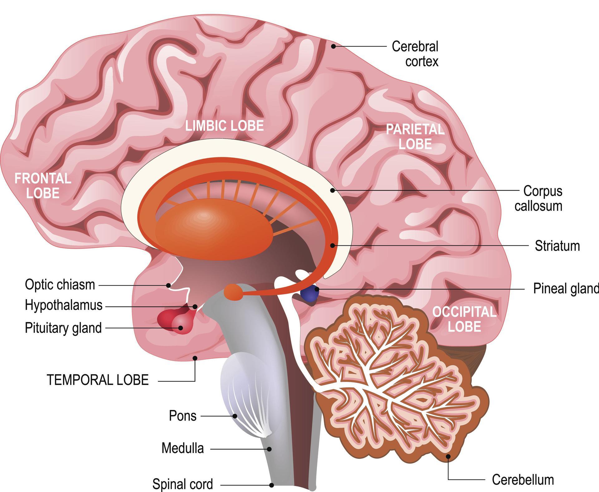Mozg Budowa Mozgu Poradnikzdrowie Pl