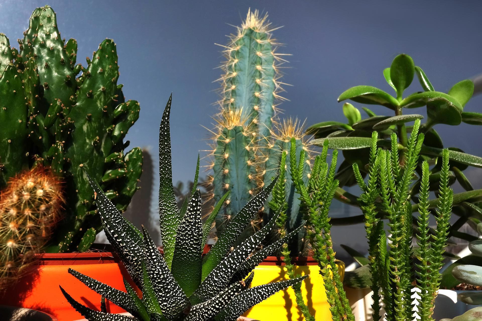 Kaktusy W Domu Jak Pielęgnować Kaktusy Doniczkowe Muratorpl