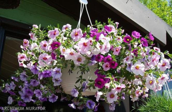 Najpiękniejsze Kwiaty Doniczkowe Na Taras I Balkon Fuksja