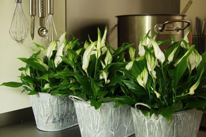 Kwiaty Doniczkowe Skrzydłokwiat Warunki Uprawy I Odmiany