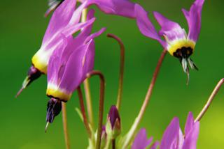 Bożykwiat Meada - Dodecatheon meadia