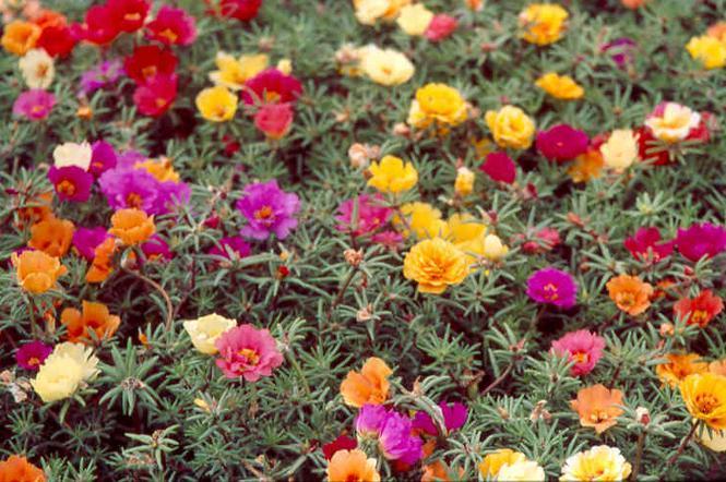 Rośliny Balkonowe Odporne Na Suszę Muratorpl