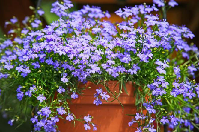 Lobelia Przylądkowa Znakomity Kwiat Na Balkony I Tarasy