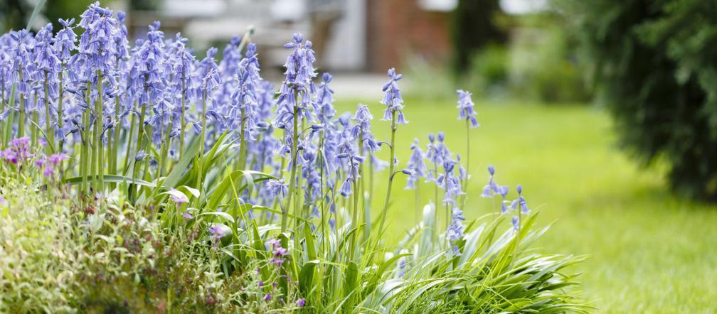 Niebieskie Kwiaty W Ogrodzie Najpopularniejsze Rosliny Ogrodowe Kwitnace Na Niebiesko Murator Pl