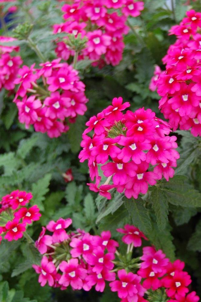 Kwiaty Na Balkon Werbena Muratorpl