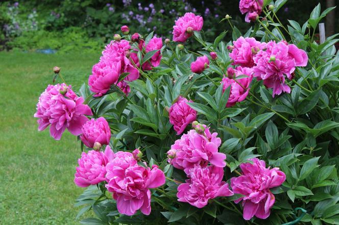 Piwonie Peonie Rośliny O Pięknych Kwiatach Gatunki I