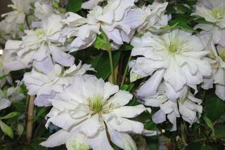 Powojnik 'Diamond Ball' PBR - Clematis 'Diamond Ball' PBR