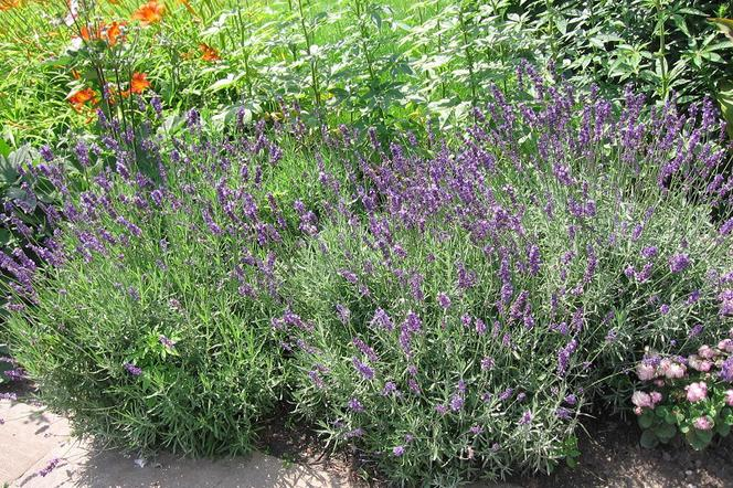 Rośliny Na Balkon Odstraszające Komary I Muchy Muratorpl