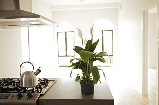 Najlepsze Kwiaty Doniczkowe Do Kuchni Jakie Rośliny Dobrze