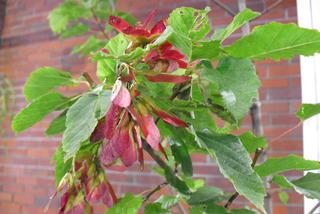 Klon tatarski 'Hot Wings' - Acer tataricum 'Hot Wings'