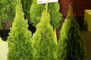 Żywotnik zachodni 'Janed Gold' - Thuja occidentalis 'Janed Gold'