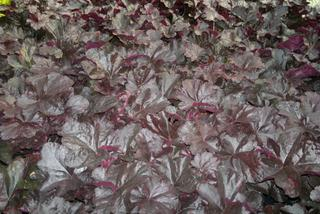 Żurawka 'Midnight Rose'  - Heuchera  'Midnight Rose'