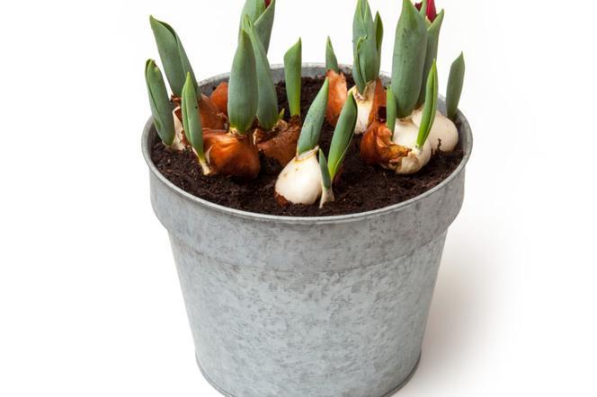 Kwitnące Zimą Tulipany W Doniczkach Zimowe Pędzenie