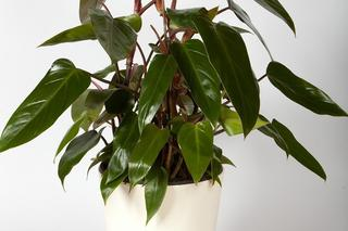 Filodendron - Philodendron