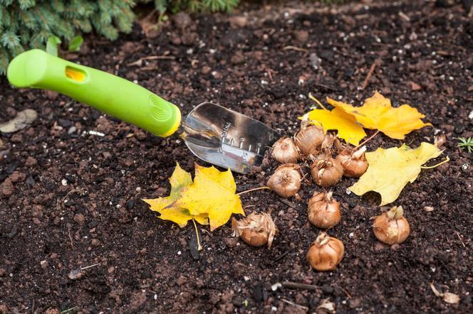 когда сажать луковицы осенью