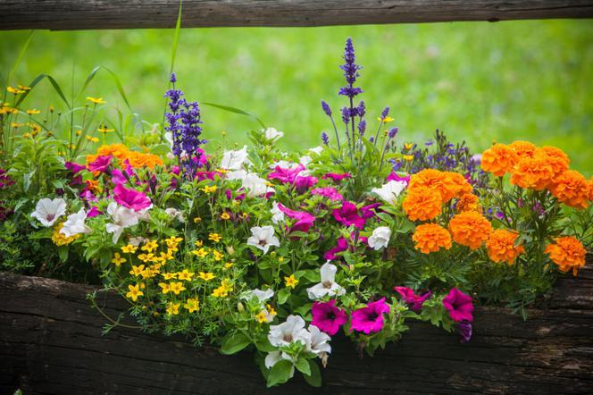 Kolorowe Kwiaty Balkonowe Propozycja Aranżacji Skrzynki