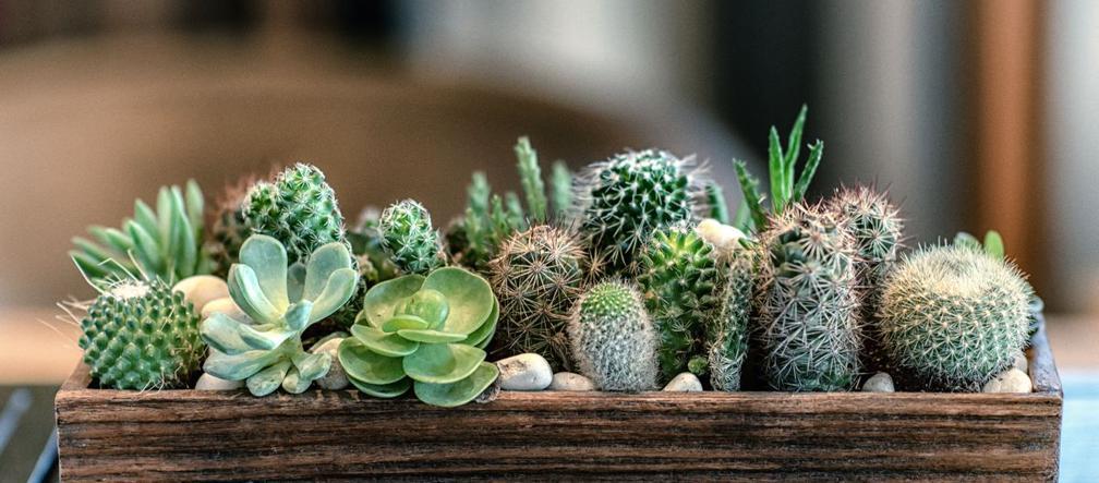 Kaktusy Doniczkowe Jak Pielęgnować Kaktusy W Domu Murator Pl