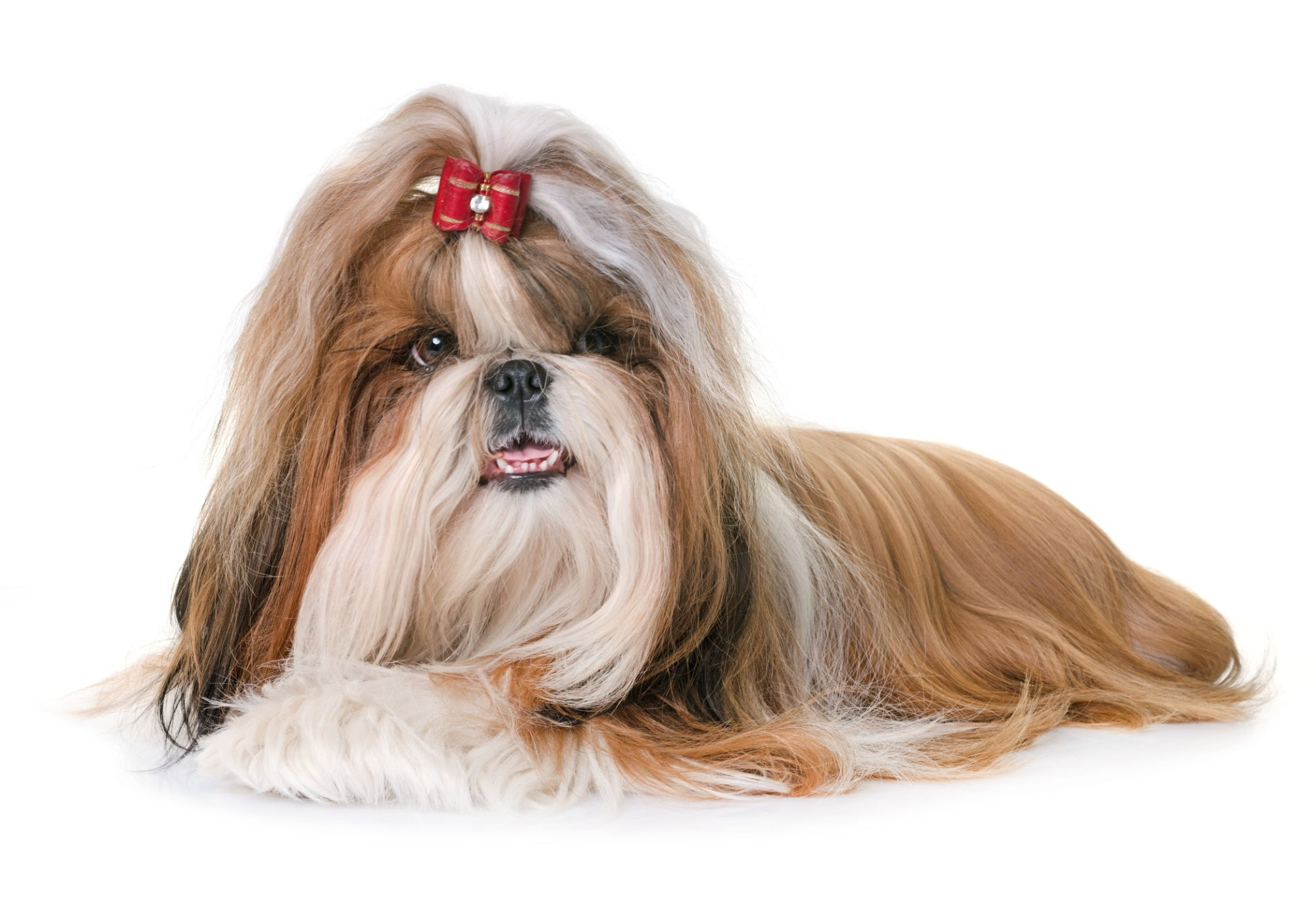 Shih Tzu Lwie Psy żywienie Pielęgnacja Choroby Poradnikzdrowiepl
