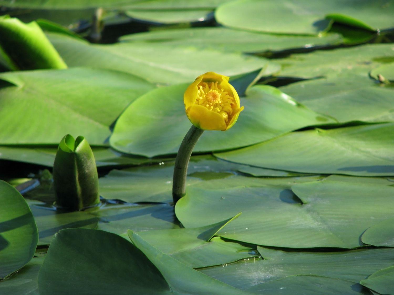 10 Najpopularniejszych Roślin Do Ogrodów Wodnych Muratorpl
