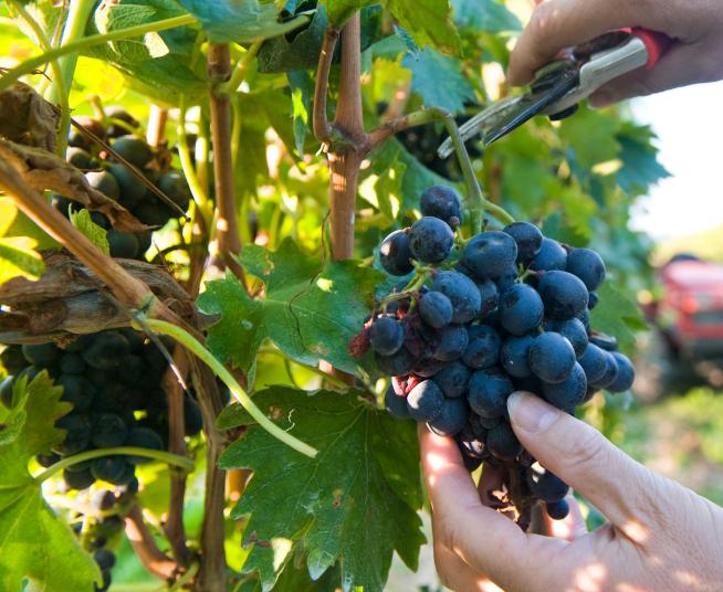 Jak Uprawiać Winorośl W Ogrodzie Winogrona Uprawa I