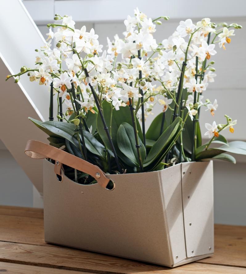 ea041c5b78b456 Storczyki - najlepsze kwiaty doniczkowe na Walentynki - murator.pl