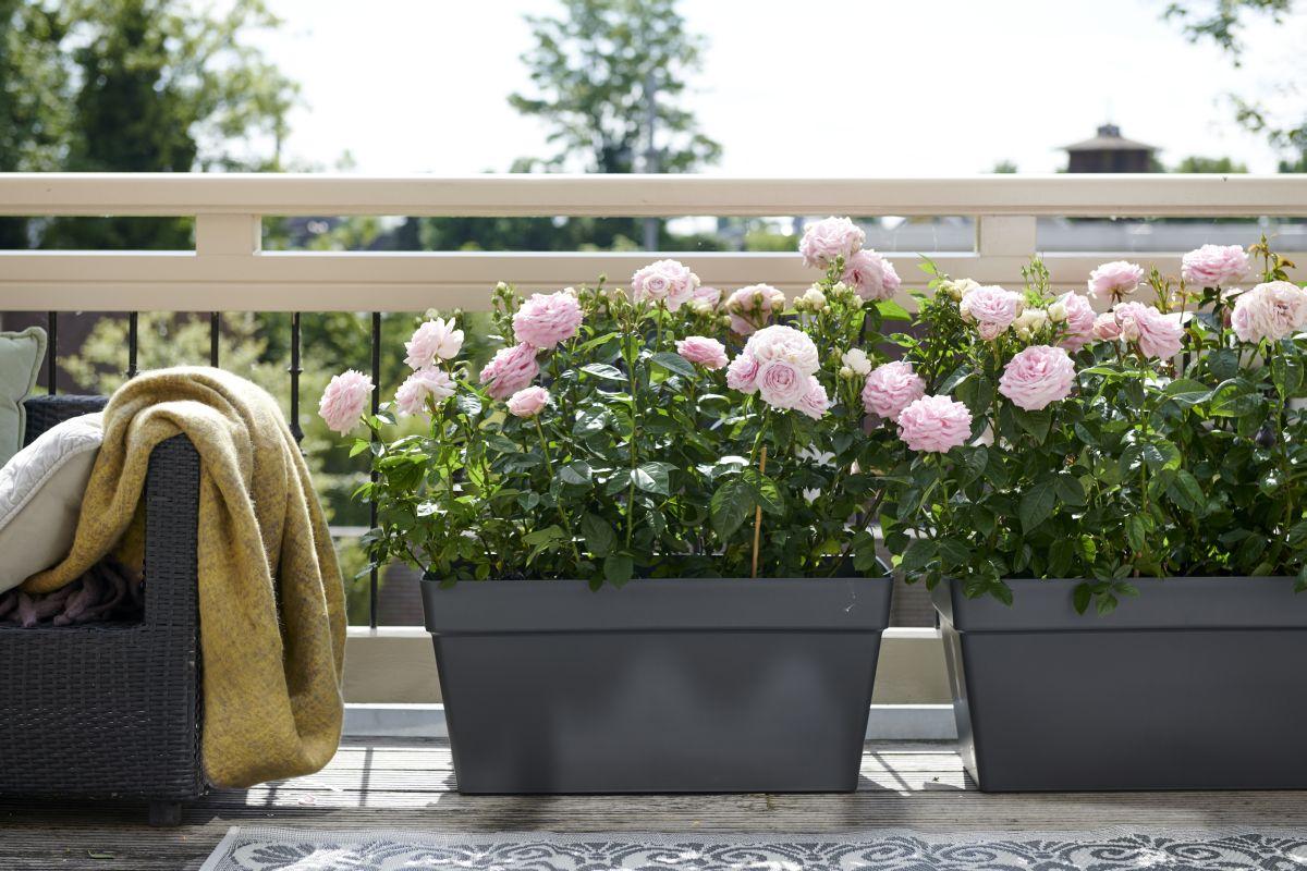 Róże Na Taras I Balkon Kiedy I Jak Sadzić Jakie Róże