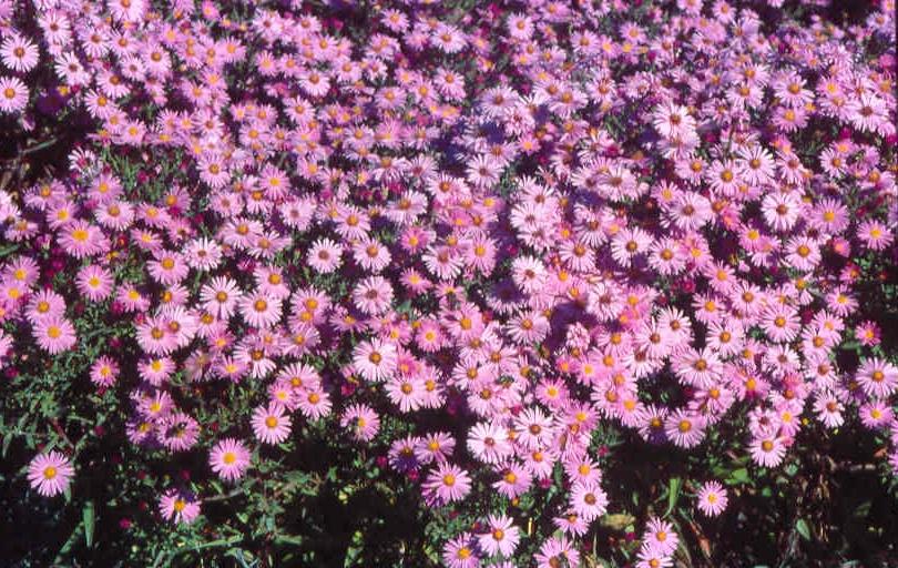 d455e1ef33f13a Astry: kwiaty nie tylko jesienne - murator.pl