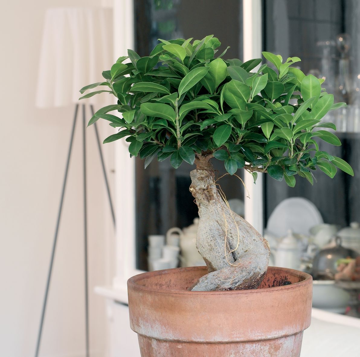 Bonsai Ficus Ginseng Modna Roślina Do Domu Jak