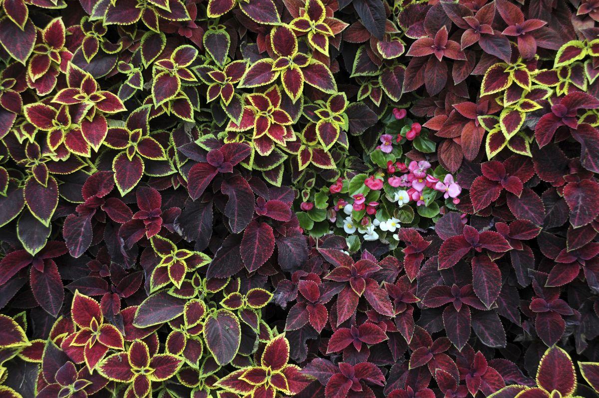 Wszystkie nowe Koleus Blumego – roślina pokojowa, balkonowa i rabatowa ES62