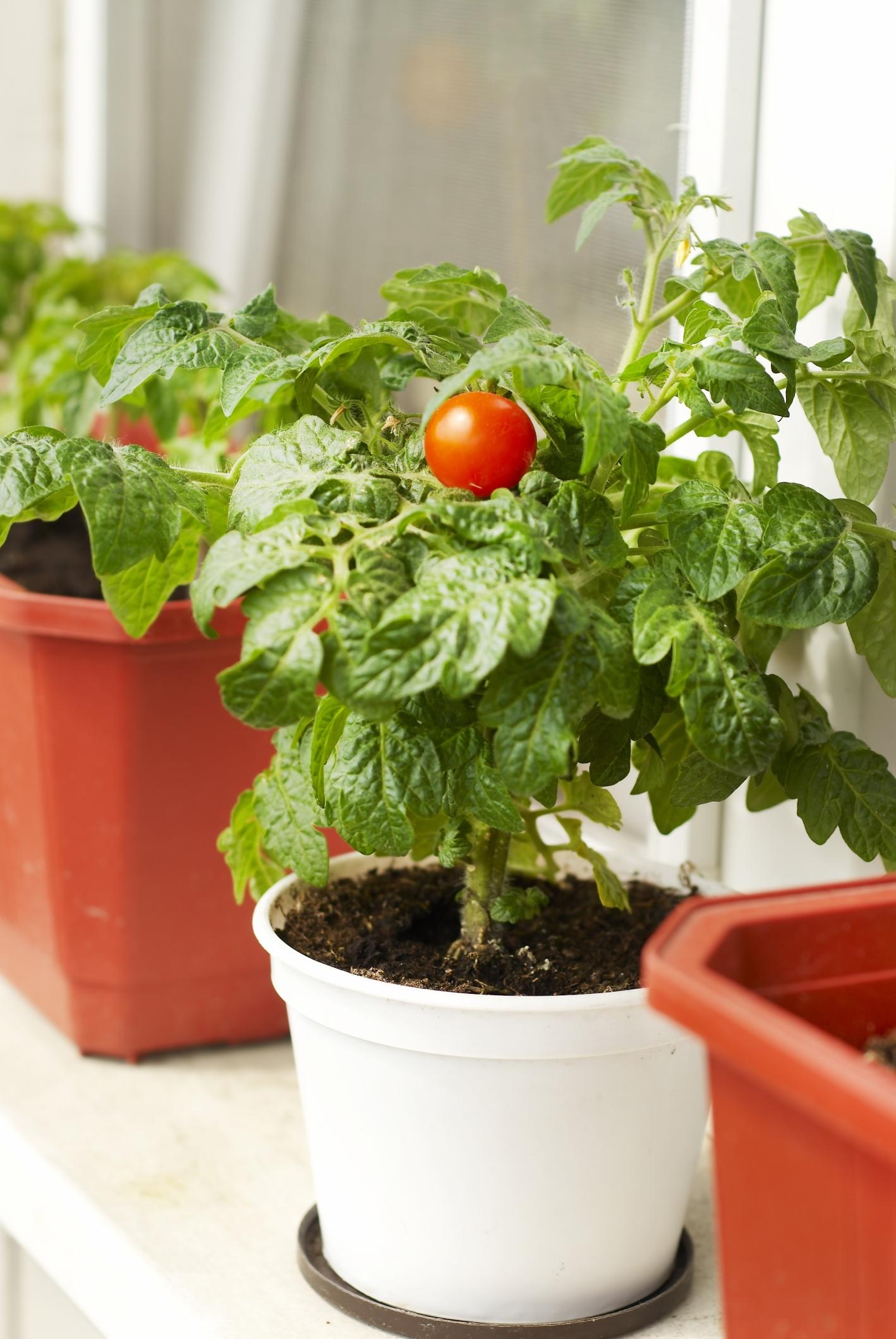 Pomidory W Donicach Uprawa Pomidorów W Doniczkach Muratorpl