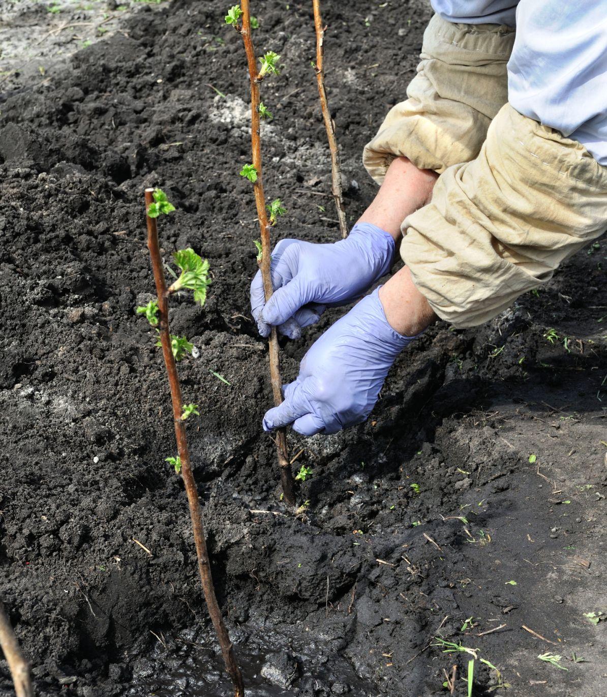 Jak Sadzić Maliny Uprawa Malin W Ogrodzie Przydomowym Krok